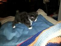 Black and White Manx kittens to good homes!