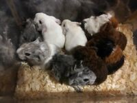 Beautiful baby guinea pigs for sale ready mid Feb.