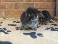 Mini lop baby bunny rabbits for sale