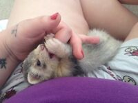 15 week old ferret male