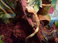 Crested Gecko and Full Setup