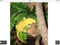Male crested gecko 2 years old