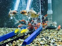 Japanese Grade A High Quality Koi, cold water