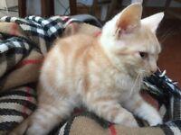 Handsome v pale cream ginger bengal like male kitten