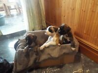 4 KC REGISTERED WONDERFUL BOXER PUPPIES HOME REARED VET CHECKED AND MICRO CHIPPED