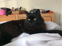 lollie is a friendly black long haired cat needing loving home due to not gettig on