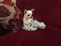 Kc registered white chihuahua puppy, last of the litter