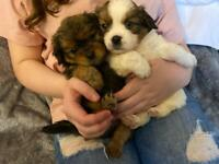 Tibalier Puppies For Sale 🐶