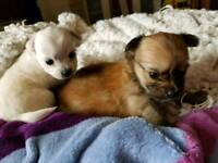 4 chihuahua puppies 1 female 3 male