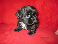 4 Shih Tzu puppies for sale