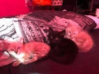 2x white/mocha 1x black Bengal cross ragdoll kittens