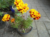 Plant for sale-French Marigold plant