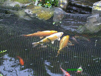 Koi Carp. A small number available.