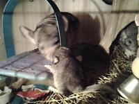 BABY FEMALE CHINCHILLAS BORN TODAY