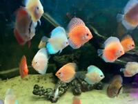 4 X Discus Mix Tropical Fish Beautiful Discusmodo Colour Pigeon Red Yellow Blue