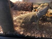 Bearded dragon with everything