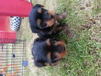 2 Yorkshire terriers girls