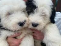 Old English Sheep Dog puppies