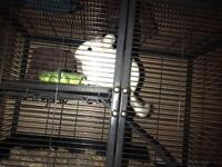 white male chinchilla with cage 160obo