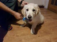 Golden Retriever Puppy - 4 moth old boy