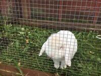 White lop eared rabbit