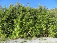 Large Bamboo Plants approx 11ft x 3ft. Very Tall 12/15ft High