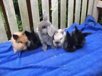 Mini lion lop rabbit/gorgeous bunnies 3girls 3boy