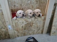 Gorgeous Chunky labrador puppies