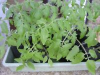 Very good Tumbling Tom tomato Plants, now ready for planting on