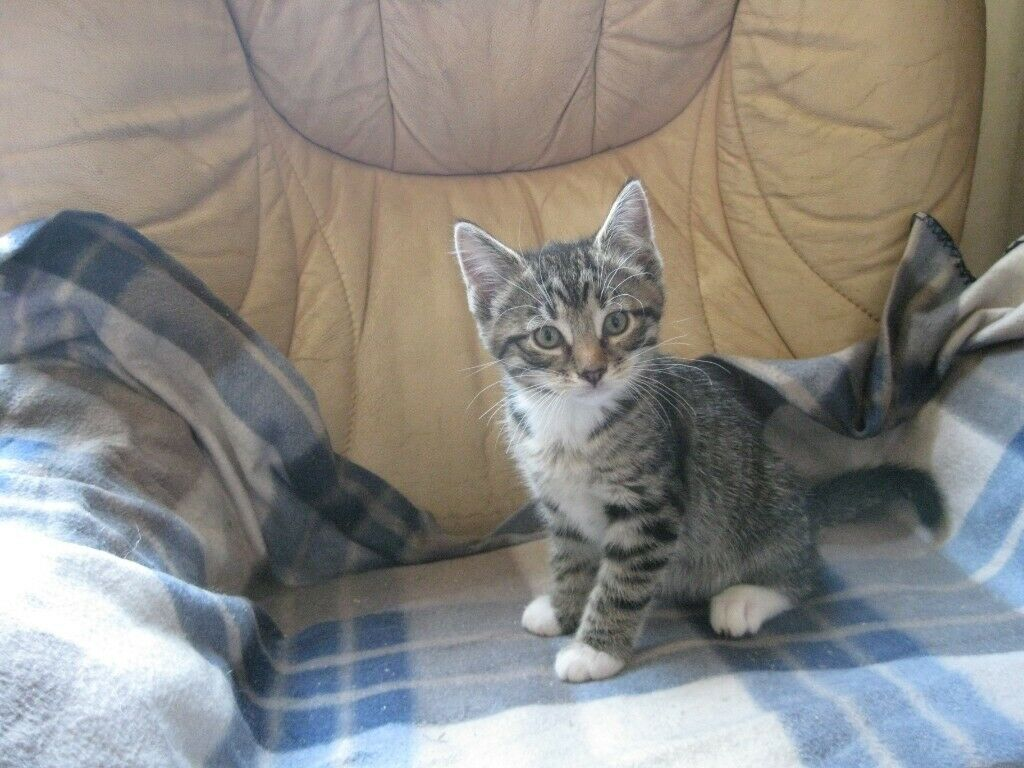 Bengal Type Kittens For Sale In Blairgowrie Perth And Kinross