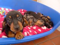 Daschund puppies black and tan ready now!