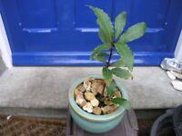 Bay Tree In Green Circular Ceramic Pot Weymouth