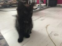 Two black fluffy kittens!
