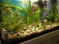 4 tiger barbs for sale