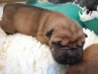 Peipals Shar Pei puppies 2 little girls and 3 little boys all fawn colours and brushcoats.