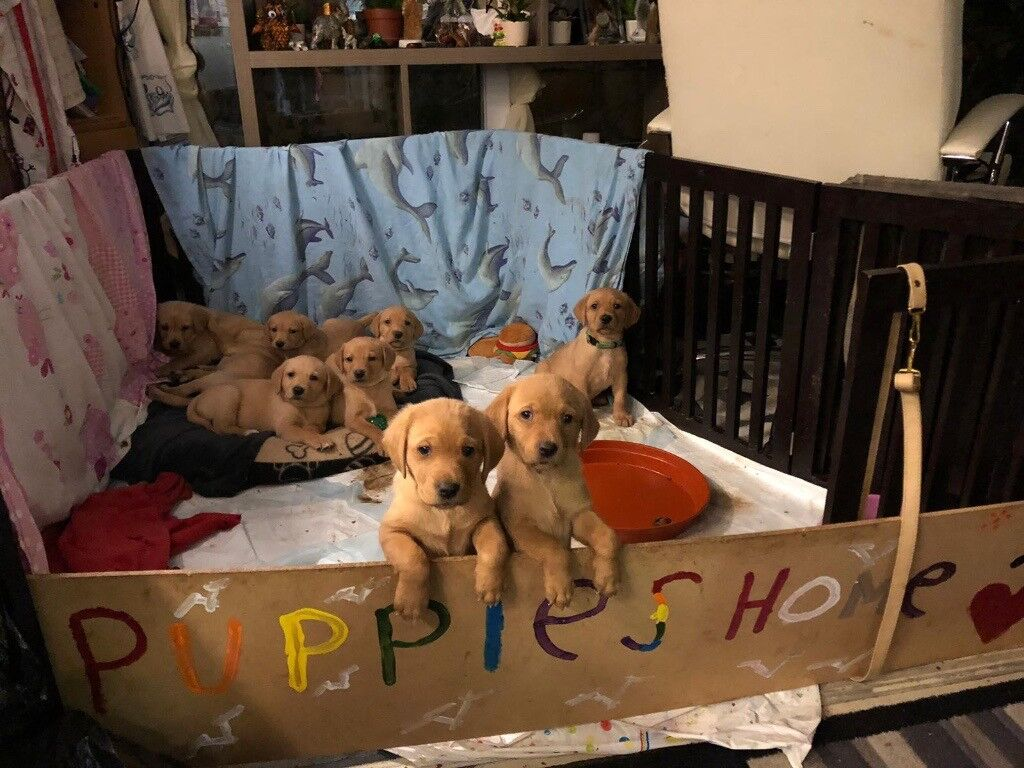 6 Female Labrador Puppies For Sale | in South East London, London | Gumtree