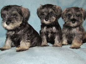 minature schnauzer puppys kc reg