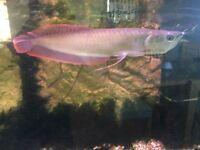 Silver Asian Arowana