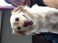 Looking to breed my Pom/American Eskimo