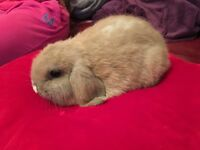 Rabbit mini lop bunnies!