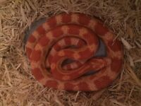 Corn snake and starter set up
