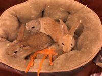 8 week old bunnies for sale