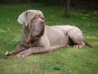 Neo male mastiff