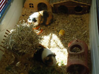 2 Male Guinea Pigs, Indoor Cage and Accessories