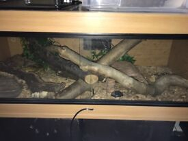 3ft custom made viv with ceramic bulb and habistat dimming stat