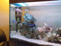 Malawi cichlids forsale 16 fish for £55