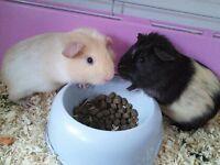 11 week old guinea pigs