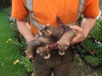 Ferret Polecats ready to go