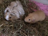 GORGEOUS AND CUTE GUINEA PIGS AVAILABLE