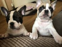 KC REGISTERED FRENCH BULLDOG PUPPYS PRICE REDUCED READY TO LEAVE